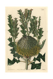 Shewy or Showy Banksia, Banksia Speciosa Giclee Print by Sarah Drake
