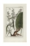 Western Dock, Rumex Aquaticus Giclee Print
