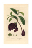 Bigflower Pawpaw Tree, Asimina Obovata, Native to America Giclee Print by Pancrace Bessa