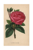 Duchesse De Cambaceres Rose, Hybrid Giclee Print by Francois Grobon
