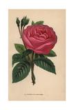 Duchesse De Cambaceres Rose, Hybrid Giclee Print by Francois Grobon