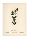 Golden Drop or Syrian Onosma, Onosma Orientalis Giclee Print by Hannah Zeller