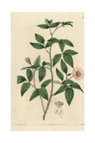 Redleaf Rose, Rosa Rubifolia Giclee Print by John Lindley