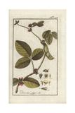 Soy or Soya Bean, Glycine Max Giclee Print