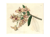 Copper-Coloured Dendrobium Orchid, Dendrobium Moschatum Giclee Print by Sarah Drake