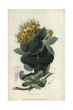 Native Yellow Honeysuckle, Lonicera Flava Giclee Print by William Clark
