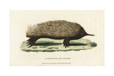 Short-Beaked Echidna, Tachyglossus Aculeatus Giclee Print by George Shaw