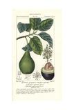 Avocado Pear, Persea Americana Reproduction procédé giclée par Pierre Turpin