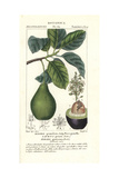 Avocado Pear, Persea Americana Giclée-Druck von Pierre Turpin
