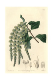 Elliptic-Leaved Garrya or Silk-Tassel Bush, Garrya Elliptica Giclee Print by Sarah Drake