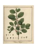 Alder Buckthorn, Frangula Alnus Giclee Print by F. Guimpel
