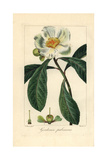 Franklin Tree, Franklinia Alatamaha, Extinct in the Wild Giclee Print by Pancrace Bessa