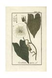 Larger Bindweed, Calystegia Sepium Giclee Print