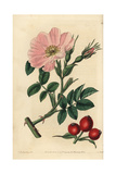 Rosa Caucasea with Pink Flower, Bud and Rosehips Giclee Print by John Lindley