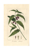 Chinese Fairy Bells, Disporum Cantoniense, Native to China Giclee Print by Pancrace Bessa