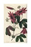 Crimson Passionflower, Passiflora Kermesina Giclee Print by Sarah Drake