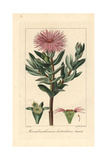 Cheiridopsis Denticulata, Succulent Native to South Africa Giclee Print by Pancrace Bessa