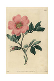 Spreading Carolina Rose, Rosa Laxa Giclee Print by John Lindley