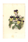 Pansy Flower Fairy, Viola Tricolor Giclee Print by Louis Lassalle