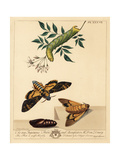 Death's Head Hawk-Moth, Acherontia Atropos Giclee Print by Moses Harris
