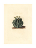 Melon Spurge, Euphorbia Meloformis, Native to South Africa Giclee Print by George Cooke