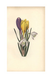 Snowdrop, Galanthus Nivalis, and Crocus, Crocus Vernus-Aureus Giclee Print by William Clark