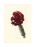 Red Crassula, Crassula Coccinea Giclee Print by George Cooke