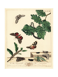 Peppered Moth and Red Underwing Moth Giclee Print by Moses Harris