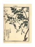 Spanish Jasmine, Jasminum Grandiflorum Giclee Print by Bairei Kono