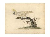 Yellow-Crested Cockatoo, Cacatua Sulphurea Critically Endangered Giclee Print by William Hayes