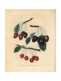 Cherry Varieties, Prunus Avium Giclee Print by George Brookshaw