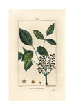 Poison Oak, Toxicodendron Pubescens Giclee Print by Pierre Turpin