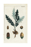 Oak Tree Leaves and Acorns, Quercus Robur Subsp Robur Giclee Print