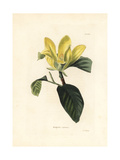 Cucumbertree or Blue Magnolia, Magnolia Acuminata Giclee Print by George Cooke