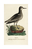 Knot, Calidris Canutus Giclee Print by George Edwards