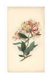 Honeysuckle or Woodbine, Lonicera Periclymenum Giclee Print by William Clark
