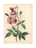 Old Blush Rose, Rosa Chinensis Old Blush Giclee Print by Pierre-Joseph Redouté