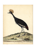 Black Crowned Crane, Balearica Pavonina Giclee Print by William Hayes