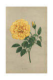 Nankin Rose, Yellow Variety of the Tea Rose Giclee Print by Francois Grobon
