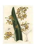Encyclia Oncidioides Orchid Giclee Print by Sarah Drake