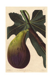 Brunswick Fig, Ficus Carica Giclee Print by Augusta Withers