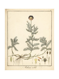 Chamomile or Camomile, Chamaemelum Nobile Giclee Print by F. Guimpel