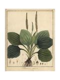 Broadleaf Plantain, Plantago Major Giclée-Druck von F. Guimpel