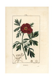 European Peony, Paeonia Officinalis Giclee Print by Pierre Turpin