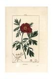 European Peony, Paeonia Officinalis Giclee Print by Pierre Turpin