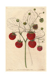 Grove-End Scarlet Strawberry, Fragaria X Ananassa Giclee Print by Augusta Withers