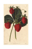 Old Pine or Carolina Strawberry, Fragaria X Ananassa Giclee Print by Augusta Withers