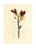Canna Patens Giclee Print by George Cooke