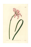 Spofforth Fairy Lily, Zephyranthes Spofforthiana Giclee Print by W. Herbert