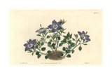 Hairy-Leaved Brittle Bellflower, Campanula Fragilis Giclee Print by Sarah Drake